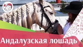 Андалузская лошадь на ilikepet