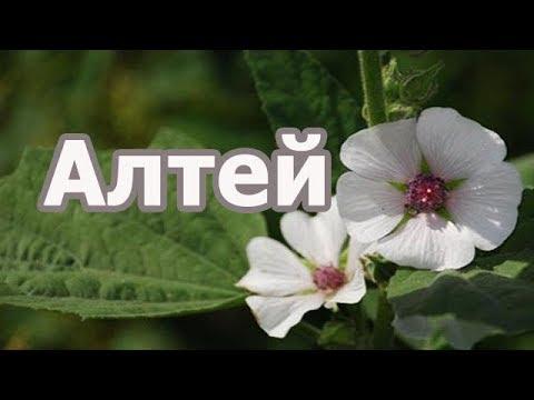 Растение Алтей лекарственный (обыкновенный), лечебные свойства, порядок заготовки.