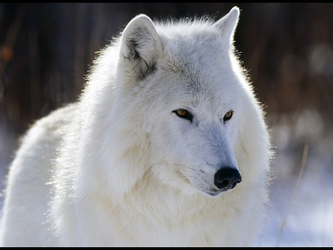 The Mysterious White Wolf