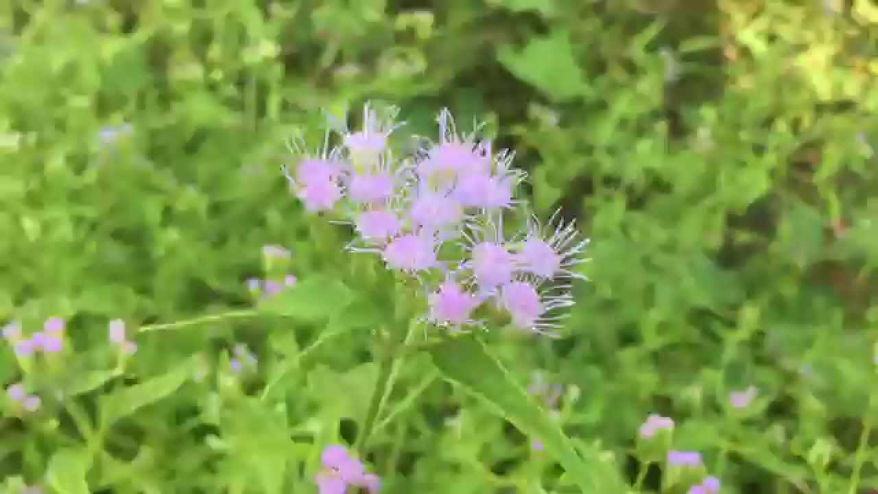 Blue mistflower youtube blue mistflower izmirmasajfo