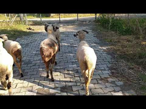Sakız Koyunları Meraya Götürdüm