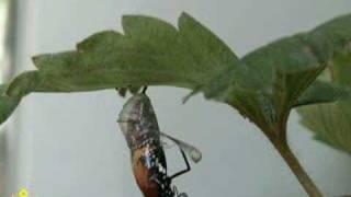 樺斑蝶羽化過程.