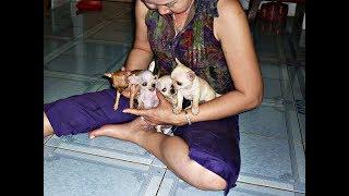 Những chú chó Chihuahua mini dể thương
