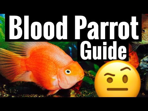 Red Blood Parrot Cichlid Care - Tank Behavior Community