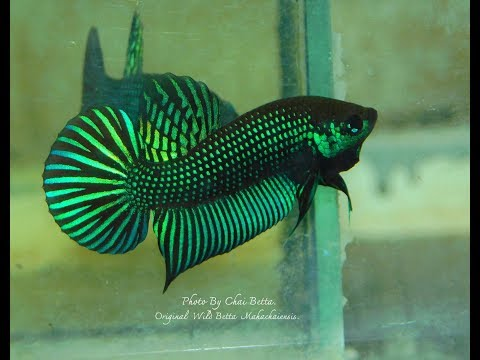 On sell now. Original Wild Betta Mahachaiensis. If you're interested, please pm