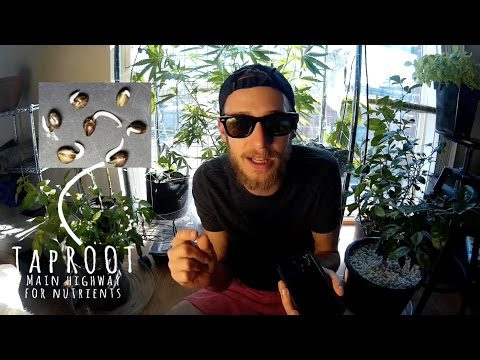 Germinating Cannabis Seeds - Episode 01 (Growing Weed to Bud from Seed)