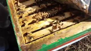Дочерная бакфаст пчелосемья, осмотр 2 марта 2017г.