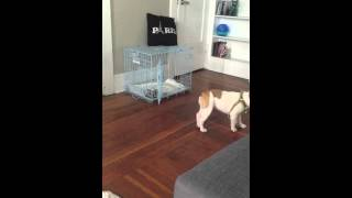 French Bulldog Puppy Crate Trained.