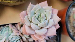 백모단 잎꽂이 모두 성공 다육이 무름병? 잎장이 우수수…