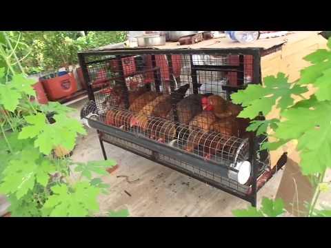 Terrace Farming .. Chicken