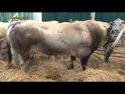 La Casa della piemontese. la pregiata razza bovina tra ieri e oggi nella casa/museo di Carrù