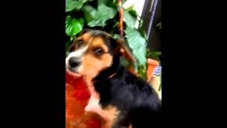 Meet Randi, An 8 Month Old Female Beagle/terrier Mix