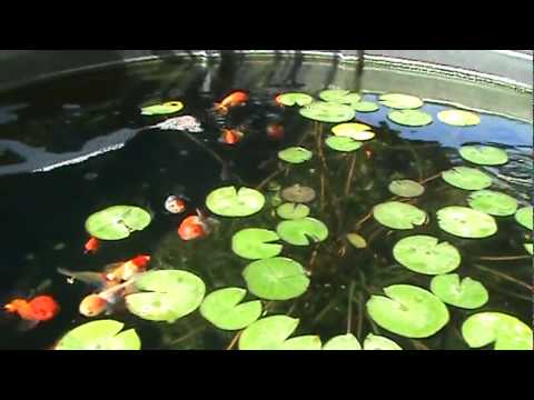 Fancy goldfish in outdoor pond ranchu oranda black moor for Best goldfish for outdoor pond