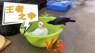 Who can win the battle for kings? This starling likes to squeeze and bathe with ducks. I thought the