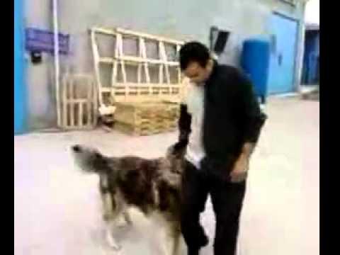 Sahibiyle Oynayan Kafkas Çoban Köpeği