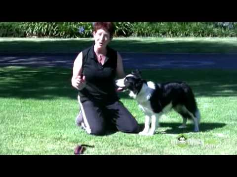 Dog Agility - Training your Dog with a Toy