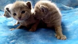 Самые милые котята!!! Русская голубая кошка. Питомник Shelaeff*BY.