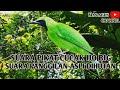 Suara Pikat Cucak Ijo Big  Mp3 - Mp4 Download