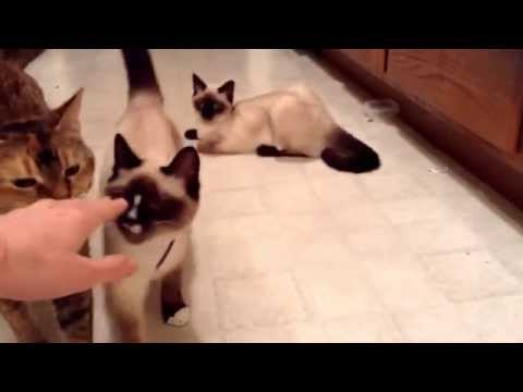 Very Talkative Siamese Kitten