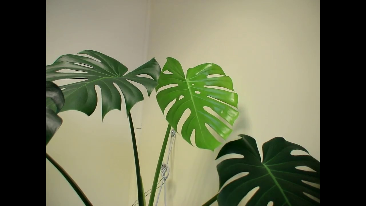 The Birth Of A Young Monstera Deliciosa Leaf Time Lapse Youtube
