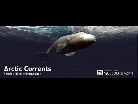 Arctic Currents: A Year in the Life of the Bowhead Whale (English)