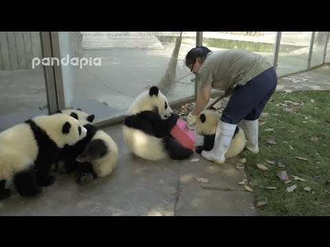 Panda cubs and nanny Meis war