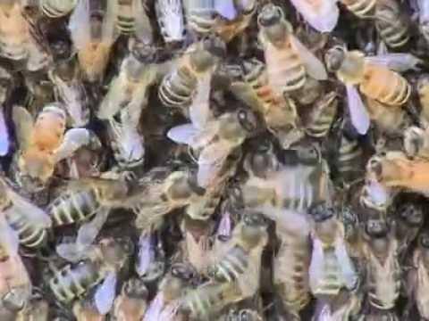 Honeybee Democracy Thomas Seeley