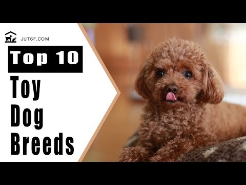 Small Dog Breeds - Top 10 Toy Dog Breeds That Will Make You Want A Little Dog