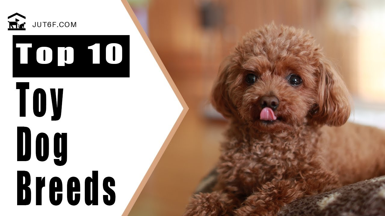 Small Dog Breeds Top 10 Toy Dog Breeds That Will Make You Want A Little Dog Youtube