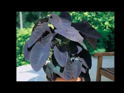 Black Leaf Elephant Ear Colocasia Esculenta 'Black Magic'