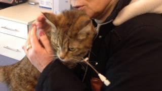 Кошка при ОПН, после гемодиализа. на снятии катетера.