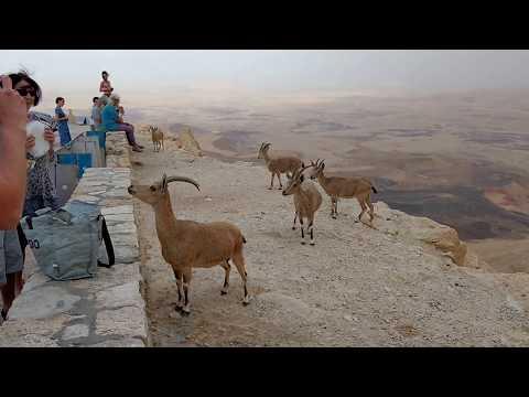 Goats IN NEGEV DESERT - ISRAEL - TOURIST DESTINATION