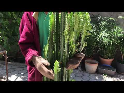 407.Молочай трехгранный. Пересадка 3х-летнего растения.