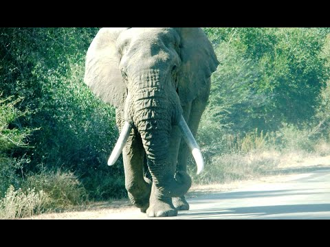 Giants of the Kruger National Park South Africa - HD