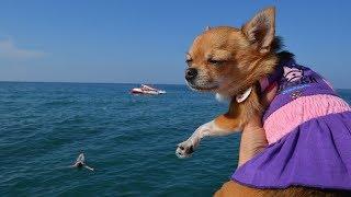 Чихуахуа Малина в Турции | Путешествие с собакой на море | Собака в самолете | Перелет с собакой