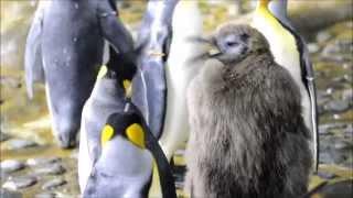 'Punky' pinguïnkuikens terug in kolonie Diergaarde Blijdorp - Penguin chicks back in colony