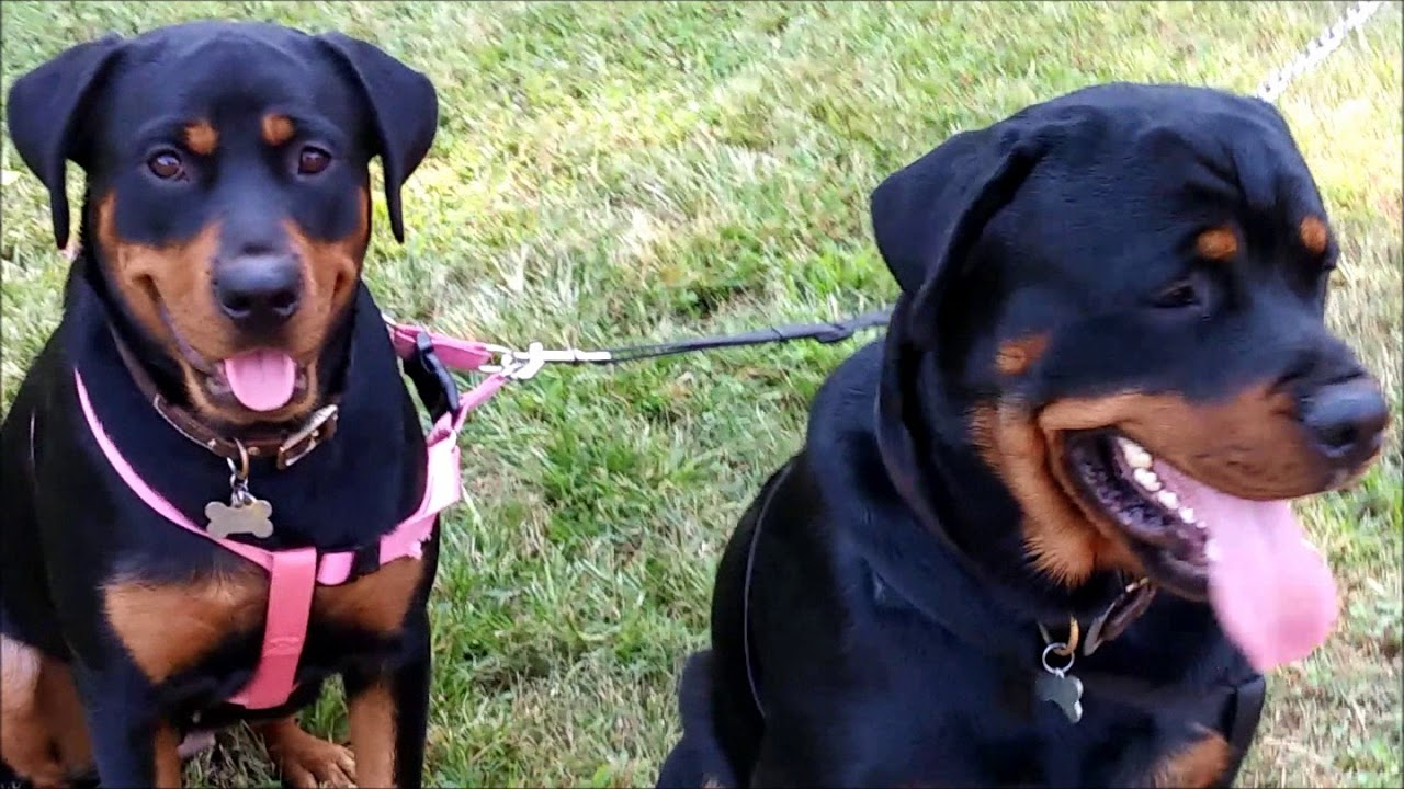 Harpers Rotts Akc German Rottweiler Breeders Based In Atlanta
