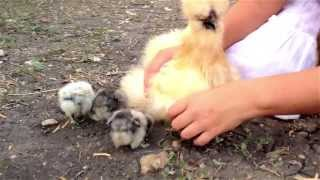 What is that FLUFFY Chicken?