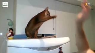 Смех про кошек видео - Кошки умеют здороваться