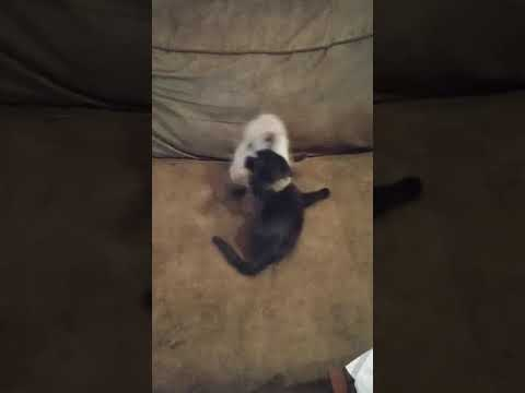 The Kittens Playing