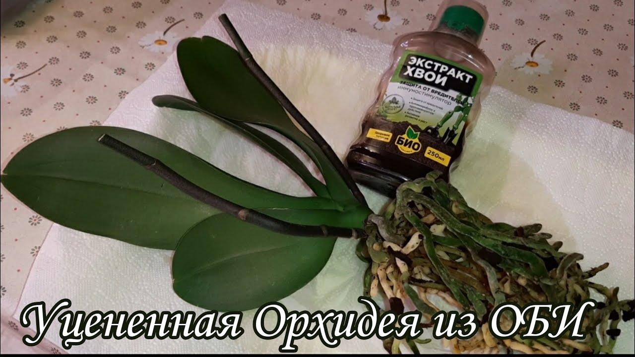 Уцененная Орхидея из ОБИ | Амаглад Amaglad, multiflora | Обработка Орхидеи перед Посадкой