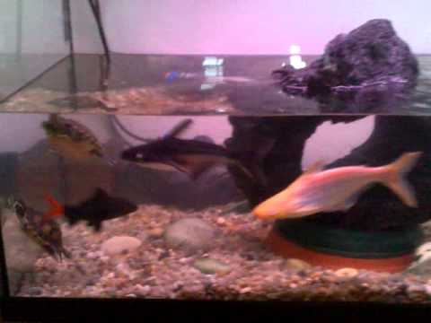 Mi acuario tortugas y peces youtube for Acuario tortugas
