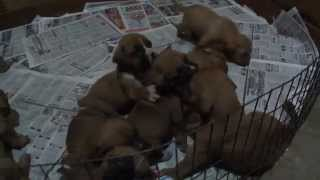 3 Week Old Boxer And French Mastiff (dogue De Bordeaux) Pups Playing (in Hd)