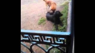 Собачье порно