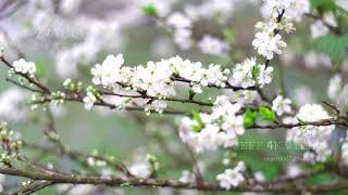 三峽-熊空茶園- 純櫻花輕音樂特輯-(4K video 影片)-SAKURA Lohas Park Donghu TAIPEI #jeff0007