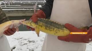 Рибний бізнес: як заробити на форелі та осетрових