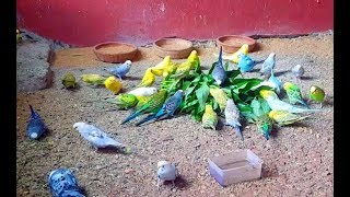 Giving weekly Vegetable | Best vegetable for Budgies | BUDGIES HUT