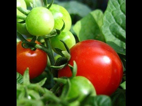 praxxus55712-/-voodoogarden-thanks-for-tiny-tim-tomatoes-seeds