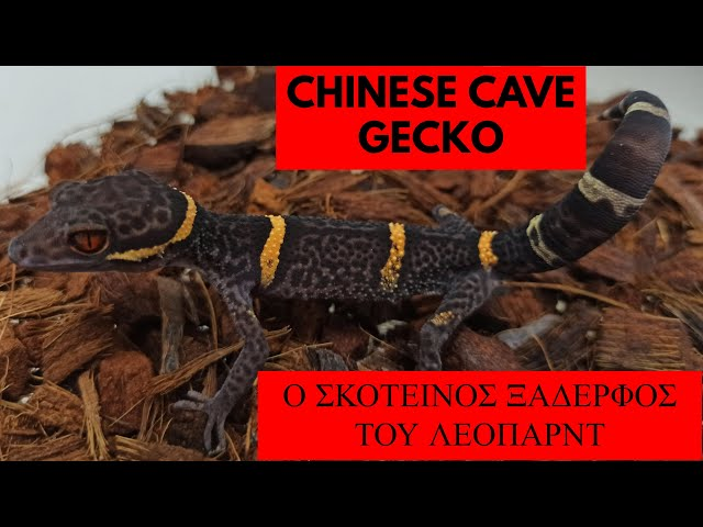 Chinese Cave Gecko | Feeders Stories ep 88