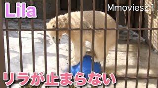 Polar Bears , Lila (female/1). 円山動物園のホッキョクグマ、ララ(メ...